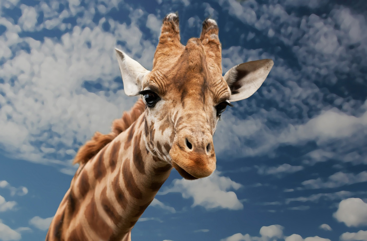 giraffe-614141_1920
